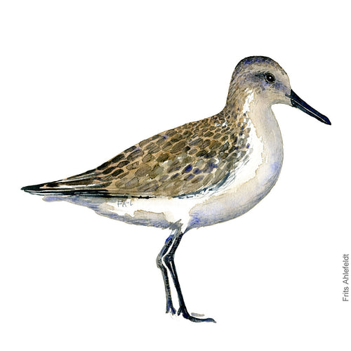 dw00114 Download dunlin bird watercolor
