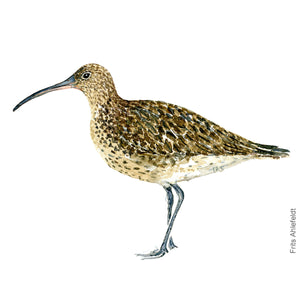 dw00115 Download Eurasian Whimbrel watercolor