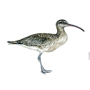 dw00116 Download Eurasian curlew watercolor