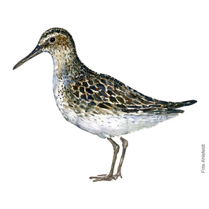 dw00117 Download Broad-billed sandpiper watercolor