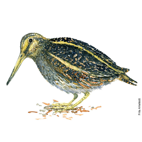 dw00124 Download Jack snipe watercolor