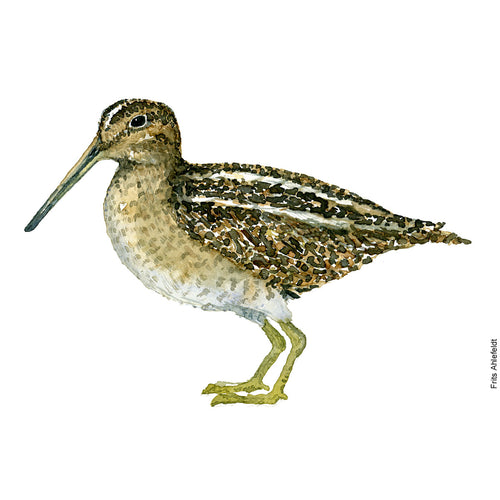 dw00125 Download Common snipe watercolor