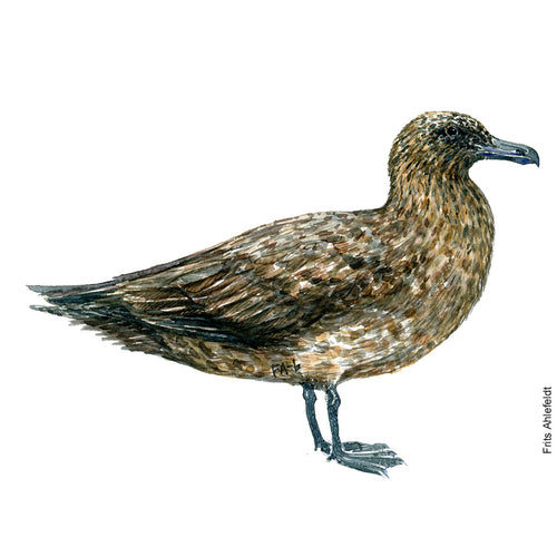 dw00128 Download Great skua watercolor