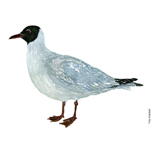 dw00130 Download Black-headed gull watercolor