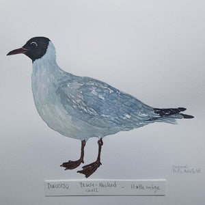 dw00130 Black-necked gull Original watercolor