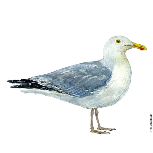dw00133 Download European herring gull watercolor