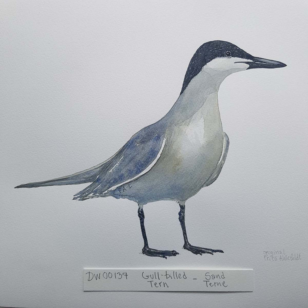 dw00137 Gull billed tern Original watercolor