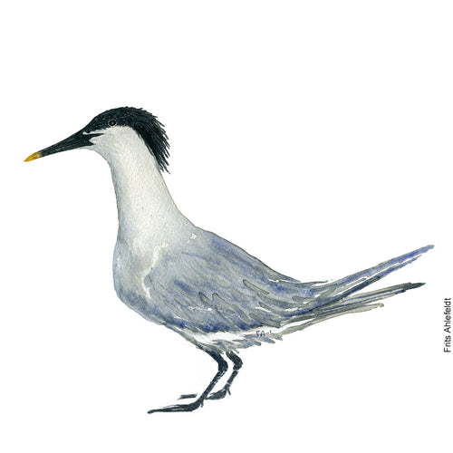 dw00138 Download Sandwich tern watercolor