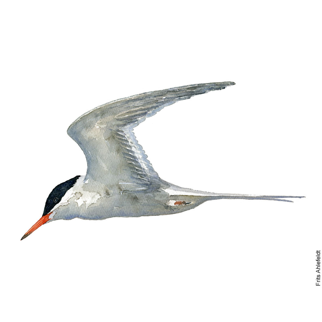dw00139 Download Common tern watercolor