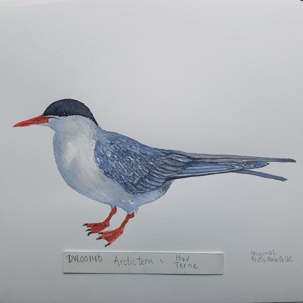 dw00140 Arctic tern Original watercolor