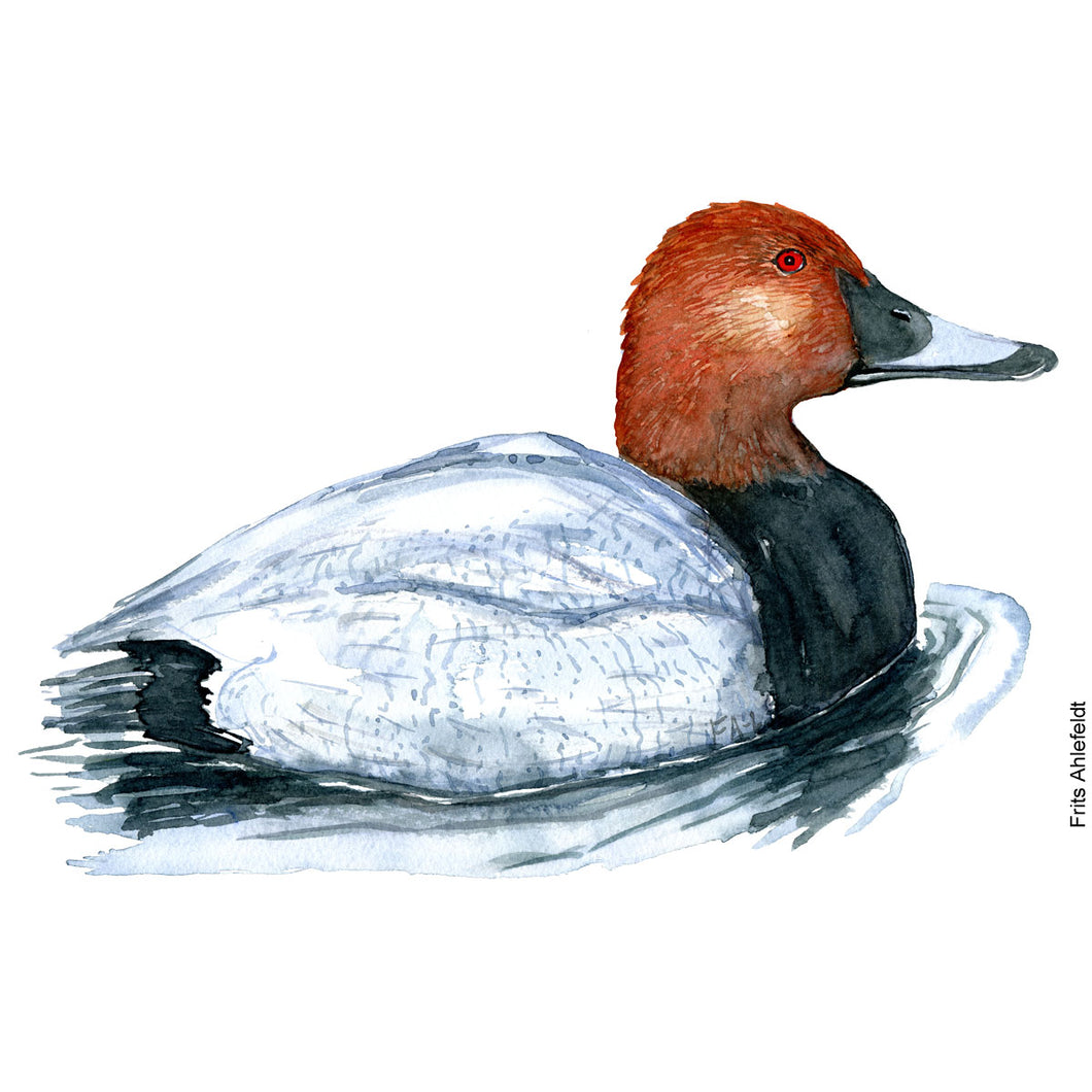 dw00147 Download Common Pochard watercolor