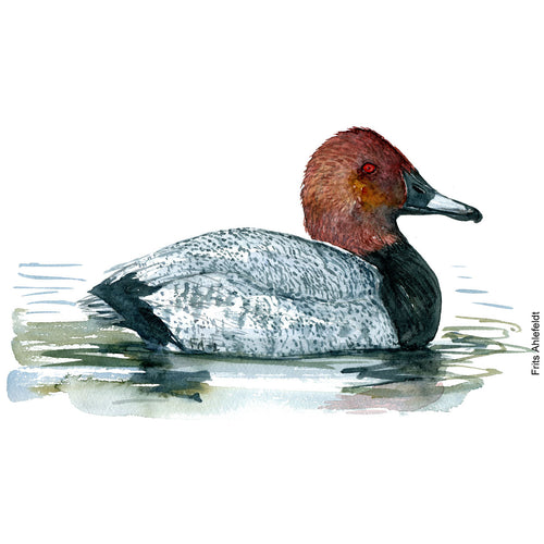 dw00148 Download Common Pochard watercolor