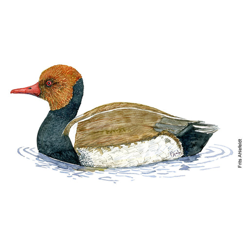 dw00149 Download Red-crested Pochard watercolor