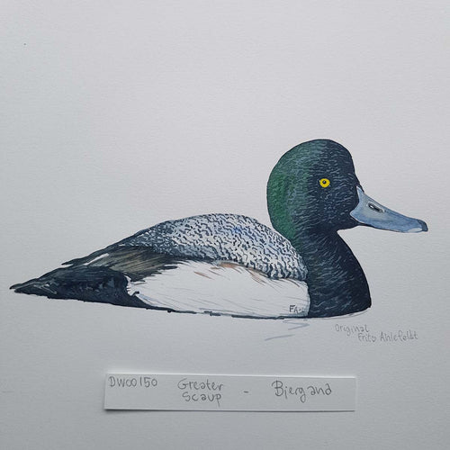 dw00150 Greater scaup duck Original watercolor