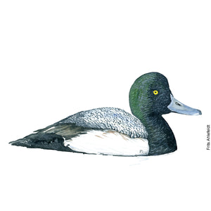 dw00150 Download Greater scaup duck watercolor