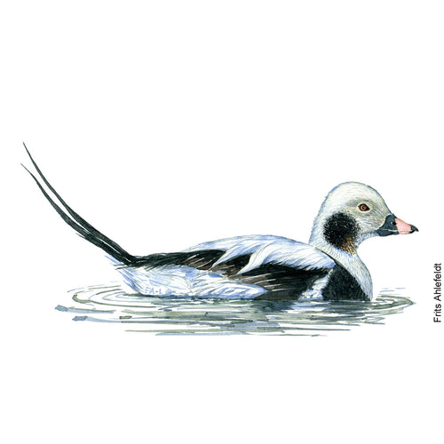dw00153 Download Long-tailed duck watercolor