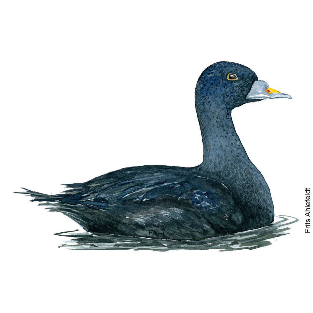 dw00154 Download Common scoter duck watercolor