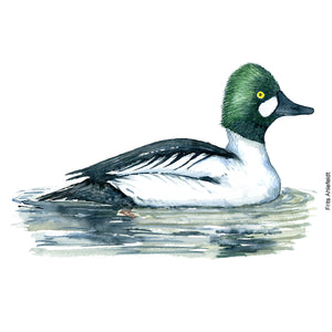 dw00156 Download Common goldeneye duck watercolor