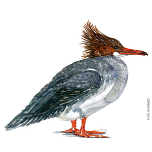 dw00159 Download Common merganser watercolor