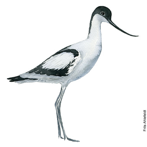 dw00162 Download Pied avocet watercolor