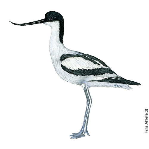 dw00163 Download Pied avocet watercolor
