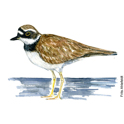 dw00165 Download Little ringed plover watercolor