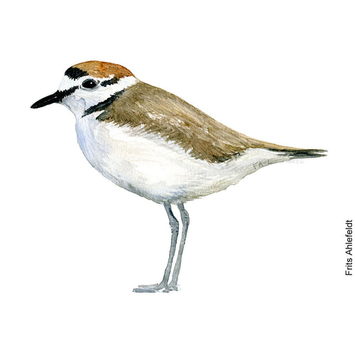 dw00166 Download Kentish plover watercolor