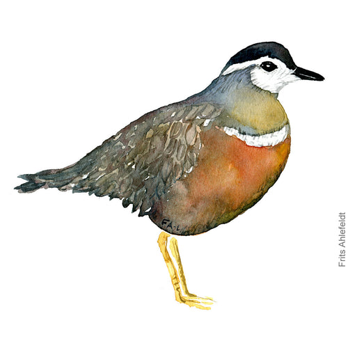 dw00167 Download Eurasian dotterel female watercolor