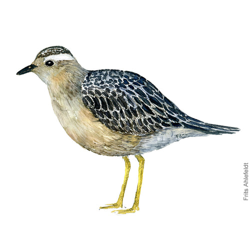dw00168 Download Eurasian dotterel male watercolor