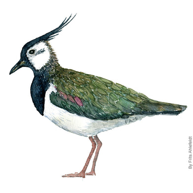 dw00171 Download Northern lapwing bird watercolor