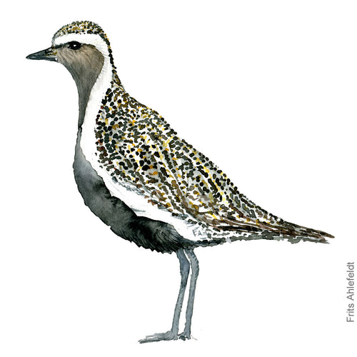 dw00173 Download European golden plover bird watercolor