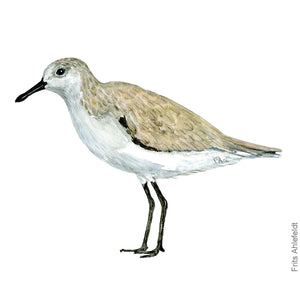 dw00174 Download Sanderling bird watercolor
