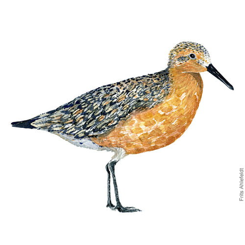 dw00176 Download Red knot bird watercolor