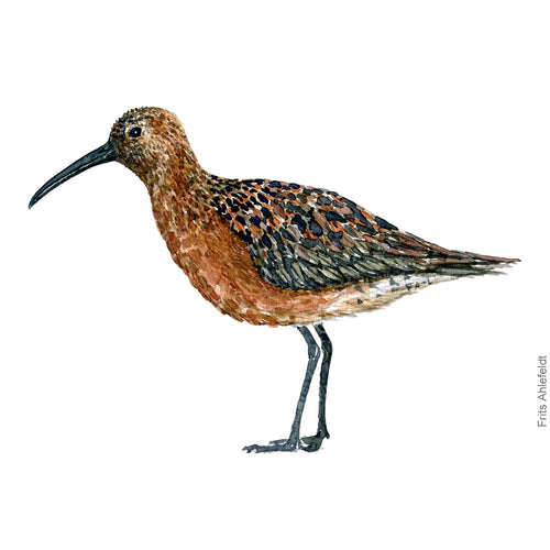 dw00177 Download Curly sandpiper watercolor