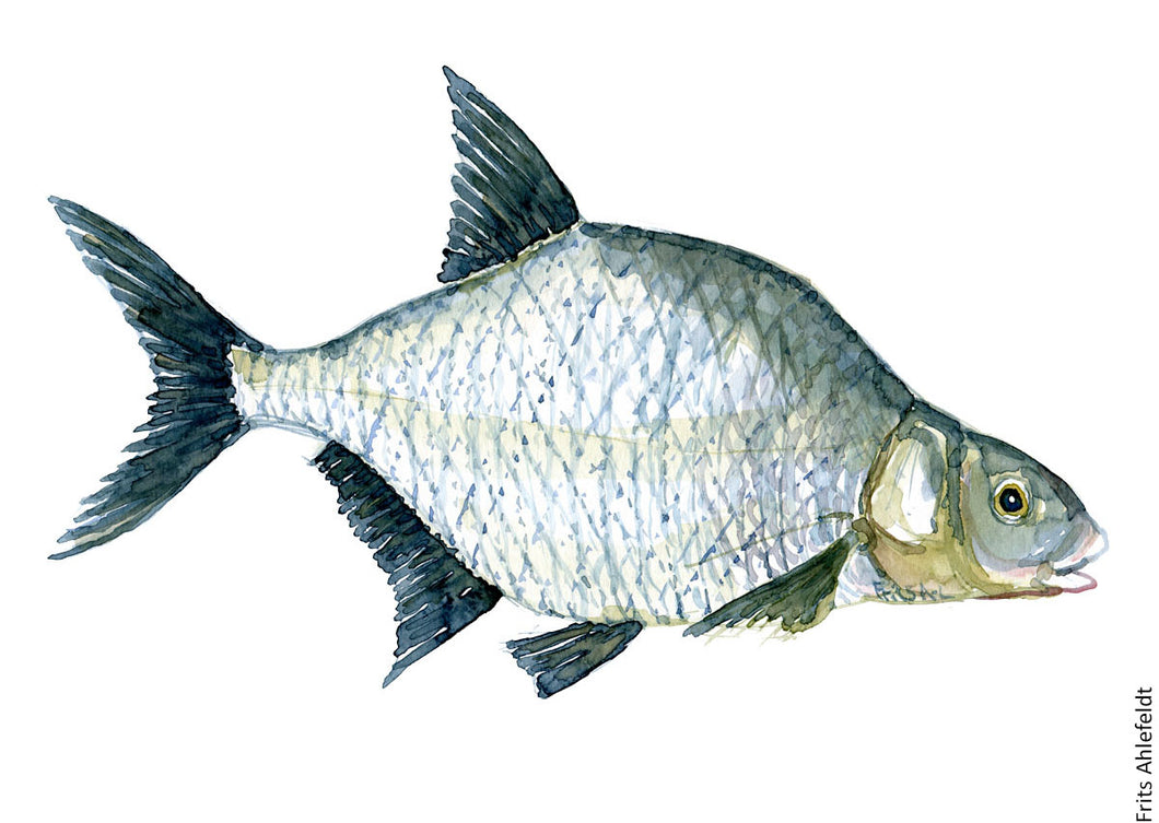 Common Bream ( Brasen ) Freshwater fish watercolor by Frits Ahlefeldt