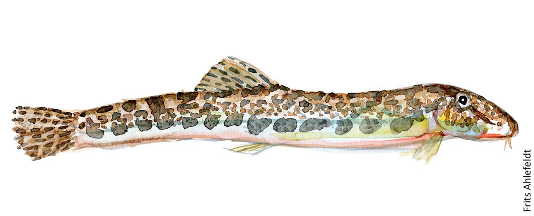 Spined loach ( pigsmerling) Freshwater fish watercolor by Frits Ahlefeldt