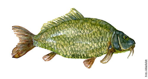 Carp (karpe) Freshwater fish watercolor by Frits Ahlefeldt
