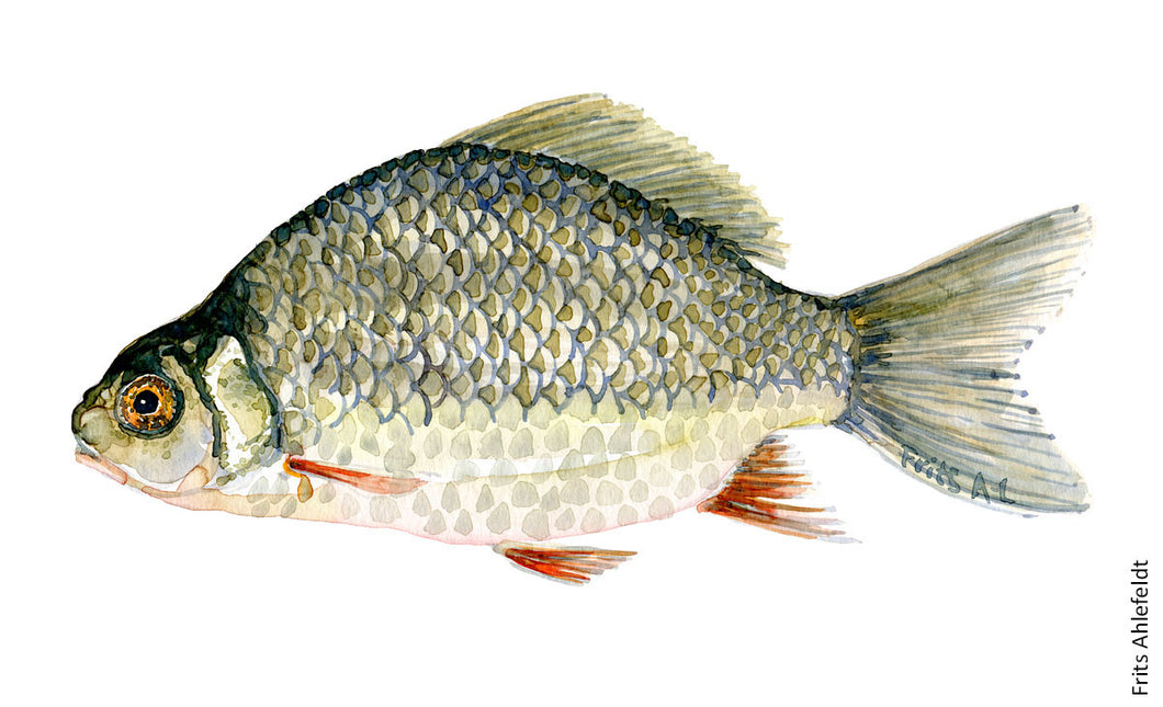 Crusian Carp ( karusse) Freshwater fish watercolor by Frits Ahlefeldt