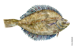 Flounder ( skrubbe) fish watercolor by Frits Ahlefeldt