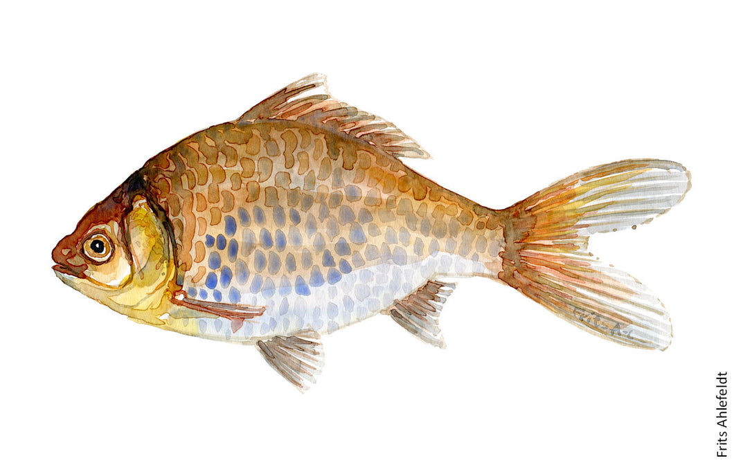 Goldfish ( sølvkarusse) Freshwater fish watercolor by Frits Ahlefeldt