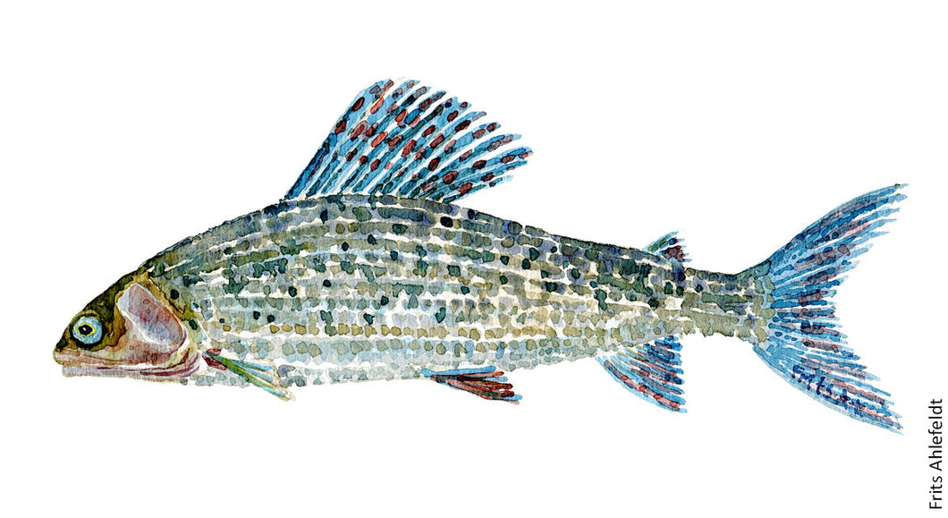 Grayling ( stalling) Freshwater fish watercolor by Frits Ahlefeldt