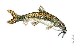 Gudgeon ( Grundling) Freshwater fish watercolor by Frits Ahlefeldt