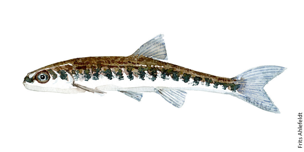 Minnow ( Elritse) Freshwater fish watercolor by Frits Ahlefeldt