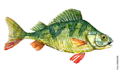 Perch (Aborre) Freshwater fish watercolor by Frits Ahlefeldt