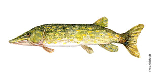 Pike ( hecht, Gedde) Freshwater fish watercolor by Frits Ahlefeldt