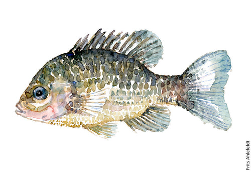 Pumkinseed Sunfish Watercolor by Frits Ahlefeldt