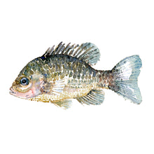Load image into Gallery viewer, Pumkinseed Sunfish Watercolor by Frits Ahlefeldt