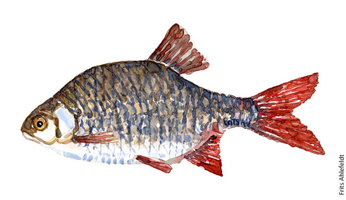 Rudd ( Rotfeder, rudskalle) Freshwater fish watercolor by Frits Ahlefeldt