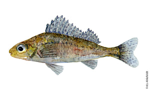 Ruffe (hork) Freshwater fish watercolor by Frits Ahlefeldt