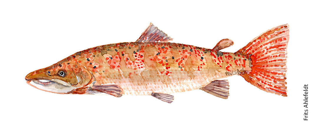 Salmon ( lachs, lax, laks) Fresh and saltwater fish watercolor by Frits Ahlefeldt